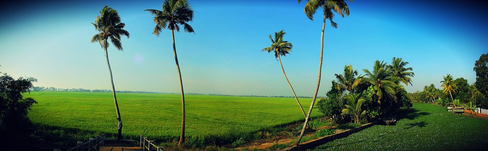 Paddy fields Kerala